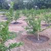 การปลูกมะนาวแบบลงดิน