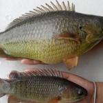 ปลาหมอชุมพร1