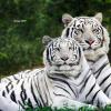 เสือขาวคู่