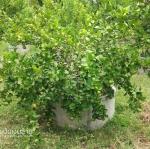 10 เทคนิค การทำสวนมะนาวให้ประสบความสำเร็จ -ตอนที่1