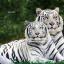 เสือขาวคู่ thumbnail 1