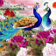 นกยูงในสวนดอกโบตั๋นสีม่วง thumbnail 1